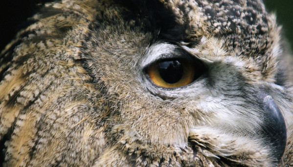 Eyes of a Raptor